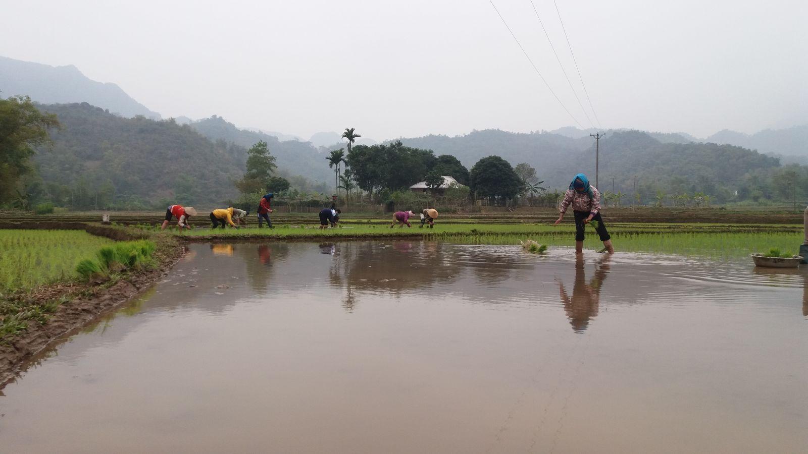 Pu Luong - Hieu village- rice planting