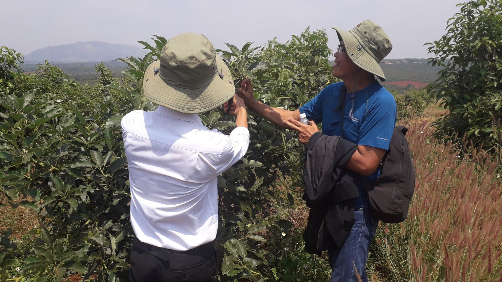 American avocado cultivation in Vietnam : Hass, Lamb Hass