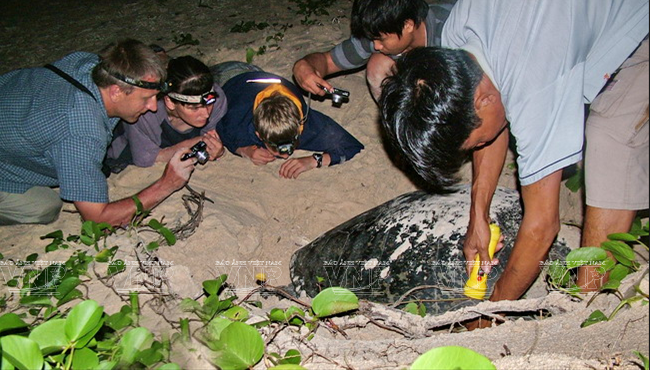 Con Dao - experience turtles laying eggs