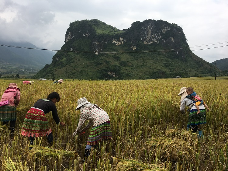 Rice harvest in Lai Chau
