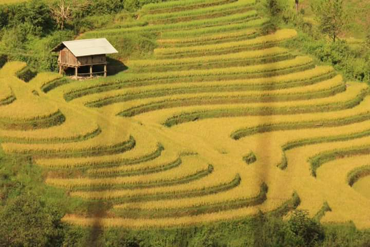 Mu Canang Chai fields of rice