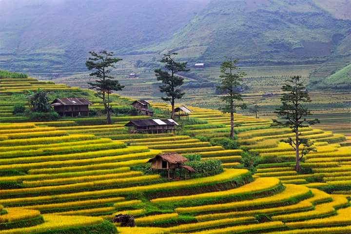 Mu Cang Chai trekking tour -rice fields