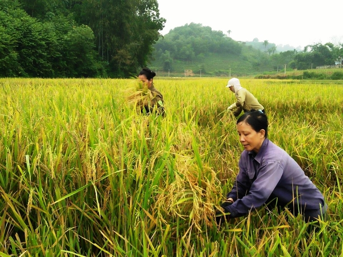 Rice Harvest in hand