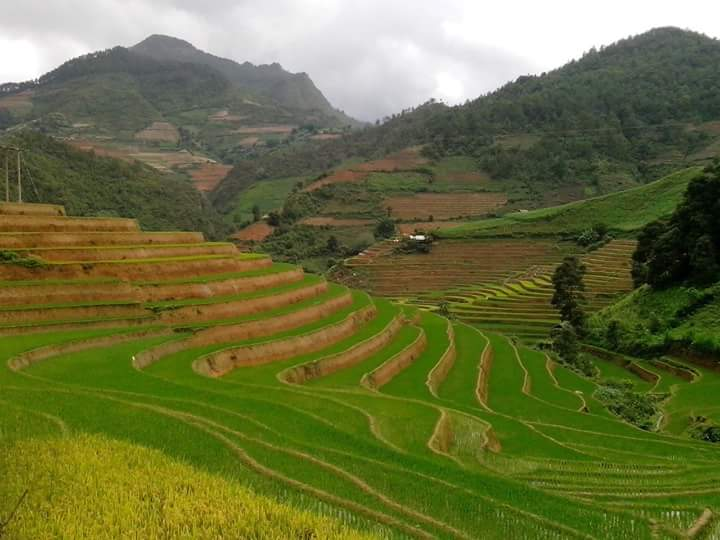 Green Rice fields - MU Cang Chai