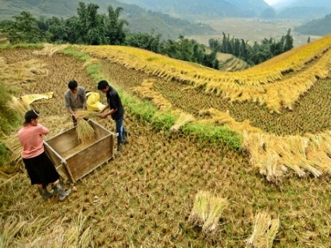 Sapa Travel Guide- Rice Cutting in Ylinhho