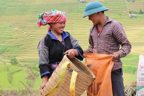 Rice field harvest